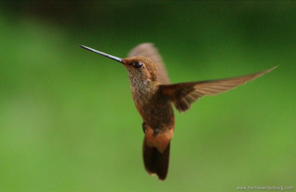 kolibrie01.jpg