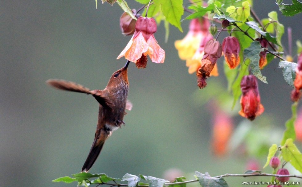 kolibrie03