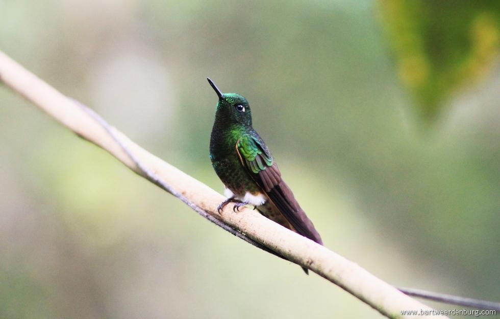 kolibrie10