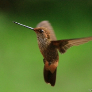 kolibrie01
