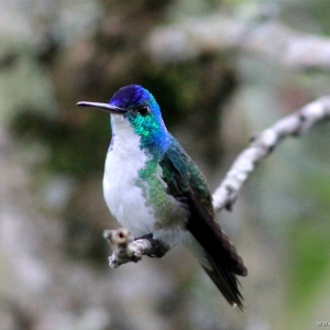 kolibrie02
