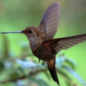 kolibrie05