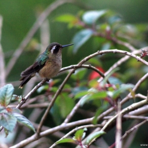 kolibrie06