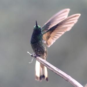 kolibrie07