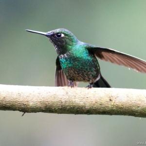 kolibrie08