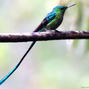 kolibrie09