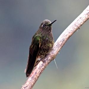 kolibrie11