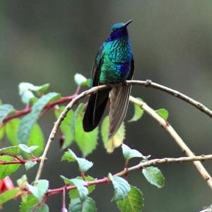 kolibrie12